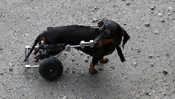 Treating Hip Dysplasia In Dogs Uk
